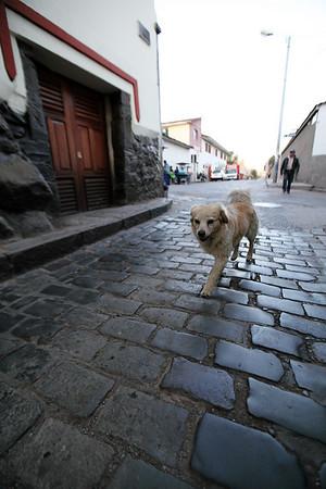 Cusco Dog