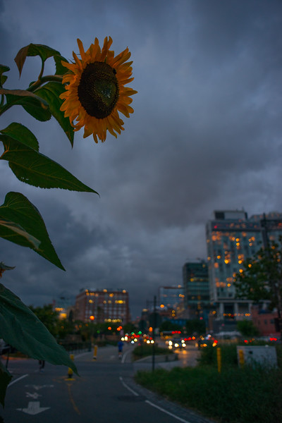 Standard Sunflower