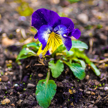 Lone Pansy