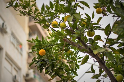Orange growing on street of Tel Aviv