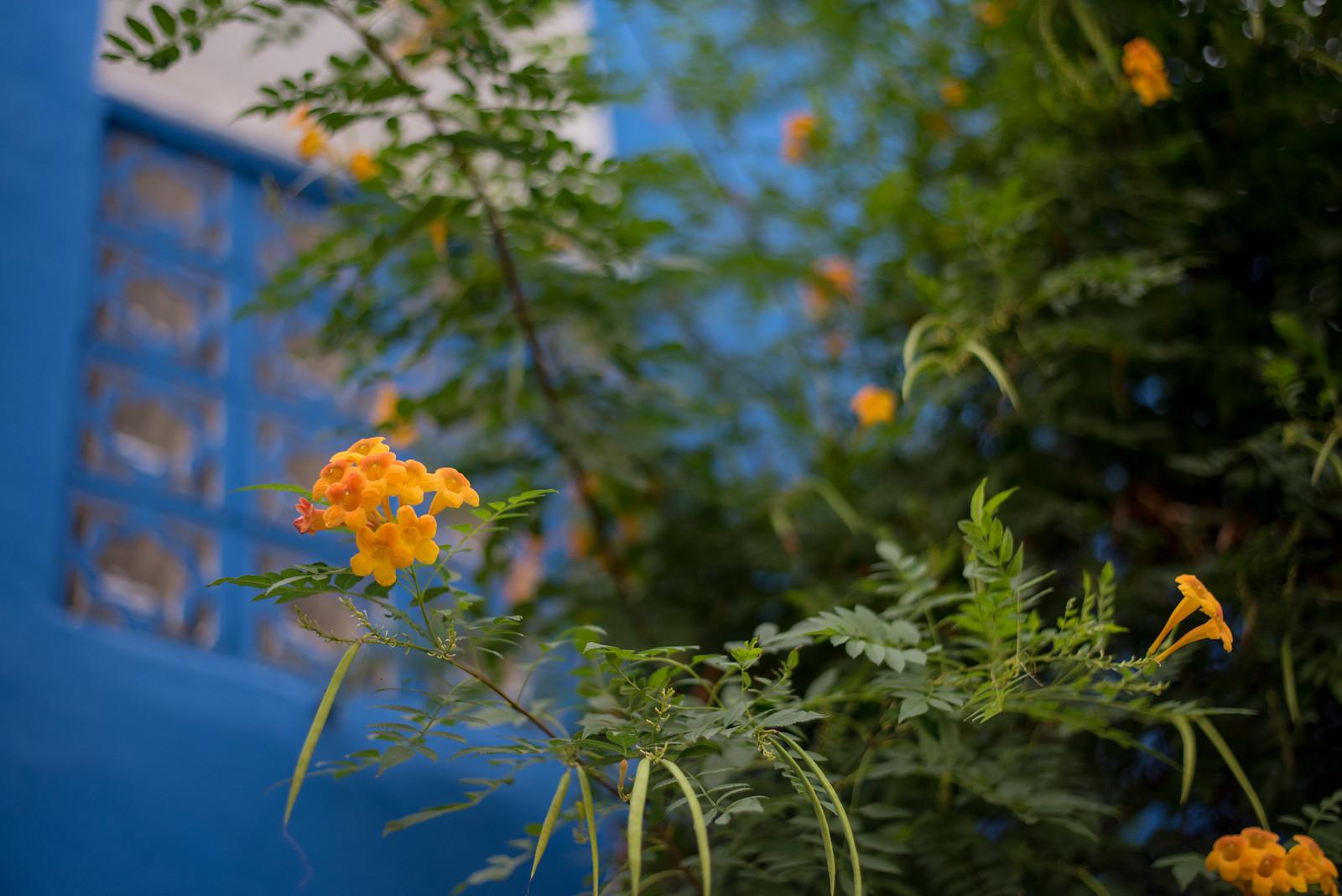 Orange flower with blue wall in Tel Aviv