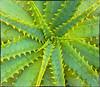 Aloe Vera plant (I think)