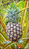 Pineapple Plant . . . and Pineapple