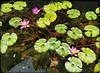 Lotus Flowers at a Pond at The King Shops at Waikoloa