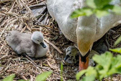 Ian Peters  - Newly hatched Cygnet-4918.jpg