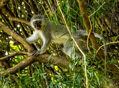 Ian Peters - Vervet Monkey Chlorocebus pygerythrus.jpg