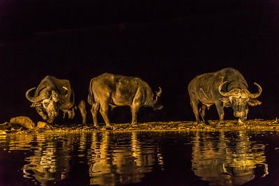 Water Buffalo at watering hole