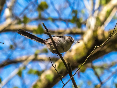 Long-tailed tit catching insects-5021072.jpg