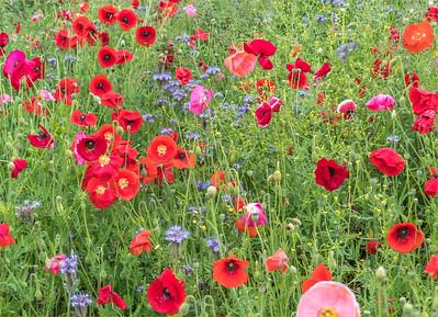 2016-06-13 Stroud Poppies wild flowers etc tweaked vignette-1564-Edit-2.jpg