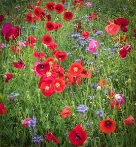 2016-06-13 Stroud Poppies wild flowers etc tweaked vignette cropped-1564-Edit-2.jpg
