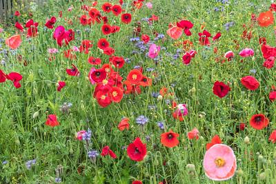 2016-06-13 Stroud Poppies wild flowers etc tweaked-1564-Edit.jpg