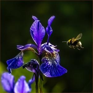 Buff tailed bee nectaring on Iris