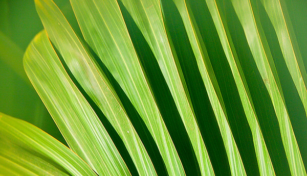 Leaf Structure on Hawaiian Palm