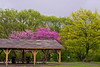 Rainy day and redbud blooms