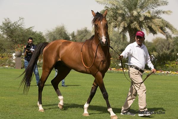 Qassam W'rsan Race horse