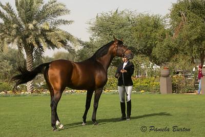 Stallion Nitigor