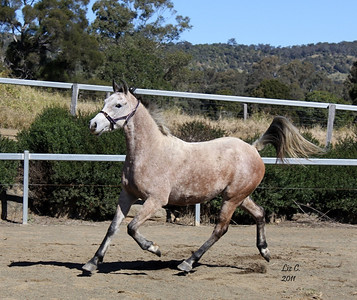 Moondarra Arabians, Australia