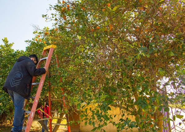 Students pick oranges in the Agriculture Laboratory.