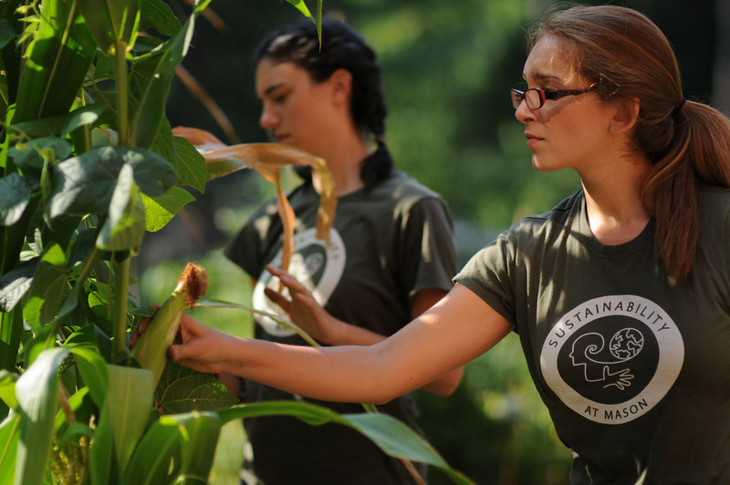110729001 - Amanda Wall and Danielle Wymam, Sustainability Projects Specialist, Office of Sustainability picking vegetables in the organic garden. Photo by Evan Cantwell/Creative Services/George Mason University
