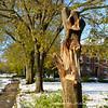 A ravaged elm along the Vista taken from Sam Phil