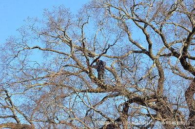 Pruning the Great Elm