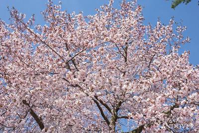 Cherry Tree Bloom