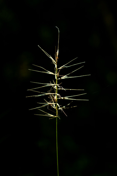 Elymus hystrix, AKA bottlebrush grass