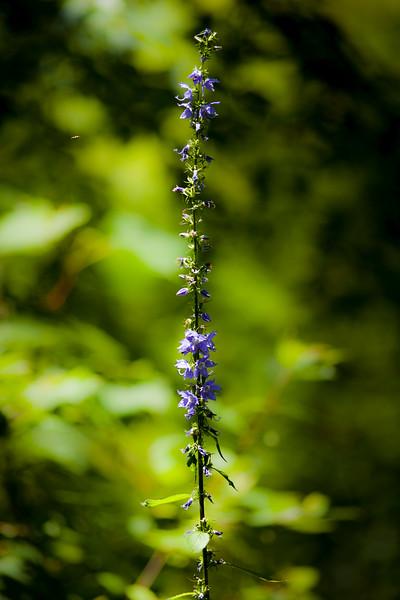 Campanula americana, AKA Tall Bellflower