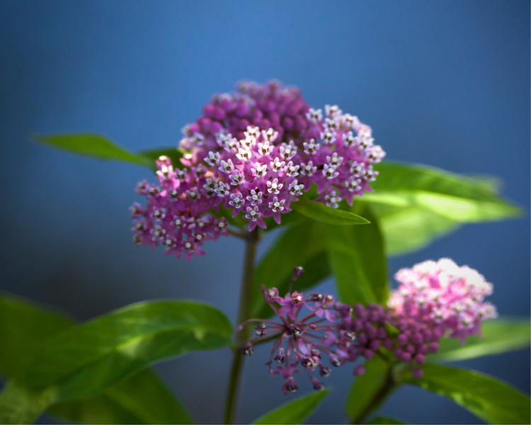 Asclepias incarnata, AKA swamp milkweed, rose milkweed, swamp silkweed, and white Indian hemp