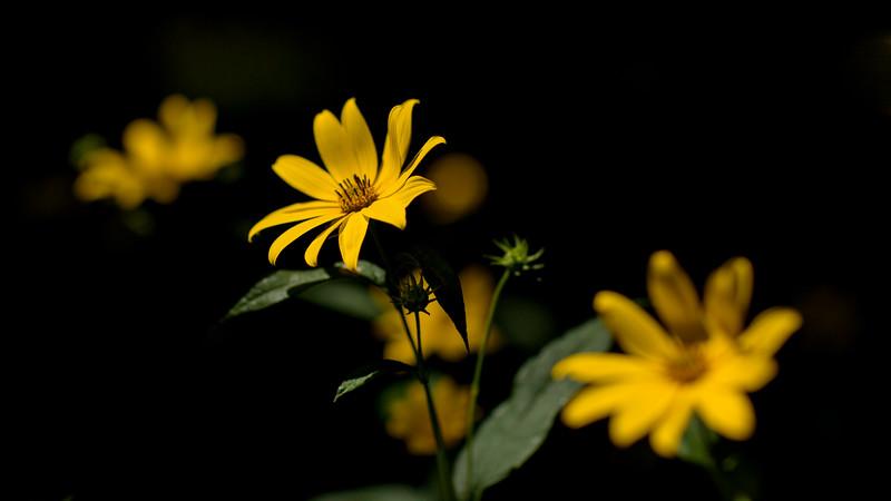 Helianthus strumosus, AKA woodland sunflower