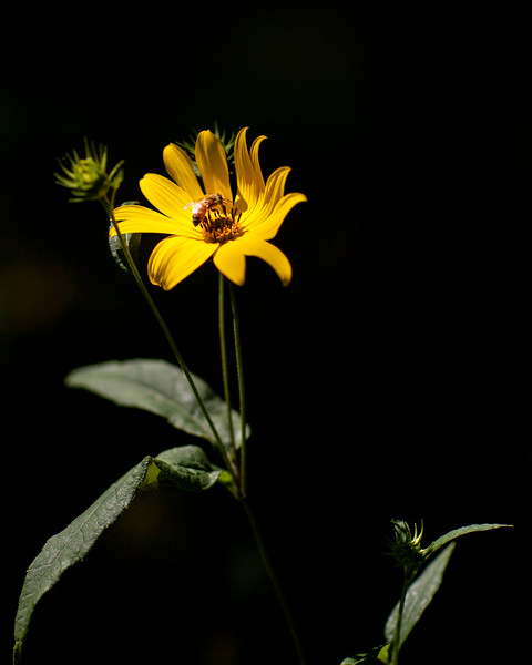 Helianthus strumosus, AKA woodland sunflower
