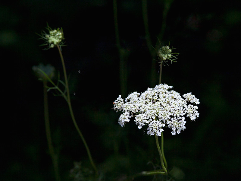 Daucus carota, AKA wild carrot, bird's nest, bishop's lace, and Queen Anne's lace
