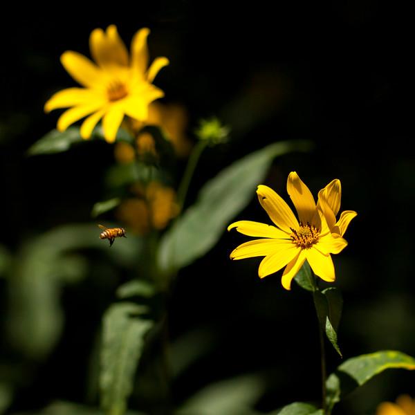 Helianthus strumosus, AKA woodland sunflower, and Honey Bee
