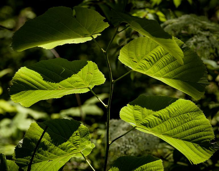 Tilia americana  AKA American Linden Tree or Basswood.
