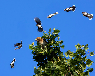 Six-shot layered image of a redtailed hawk being harassed by a bluejay.