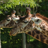 Toronto_Zoo_1482