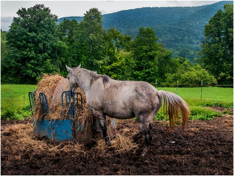 Vermont Arlington Horses 4 August 2009