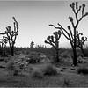 Mojave Desert California 2007 Joshua Trees