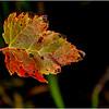 Becket Massachusetts September 2009 Red Maple Leaf Study