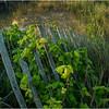 Stone Harbor NJ Dune Fence 3 July 2014