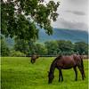 Vermont Arlington Horses 2 August 2009