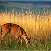 Shenandoah Park Virginia Young Whitetail Buck in Golden Grass