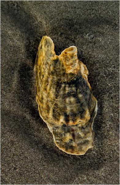 Avalon NJ August 2015 Tideline Shells 51