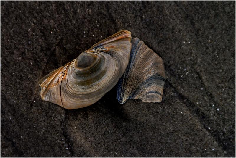 Avalon NJ August 2015 Tideline Shells 77