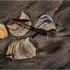 Avalon NJ August 2015 Tideline Shells 19