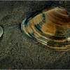 Avalon NJ August 2015 Tideline Shells 86