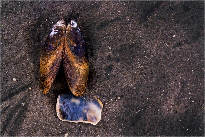 Avalon NJ August 2015 Tideline Shells 58