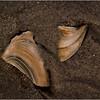Avalon NJ August 2015 Tideline Shells 62