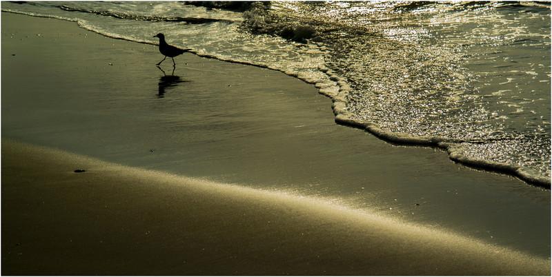 Avalon NJ August 2015 Tideline Gull on Shore