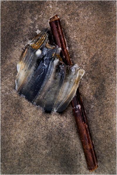 Avalon NJ August 2015 Tideline Shells 26